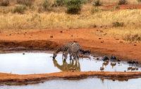 Zebra am Wasserloch