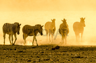 Namibian Zebras at sunset in the dust