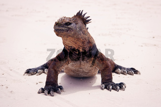 Marine iguana on beach.