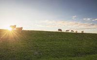 sheep on pasture on horizon at sunset