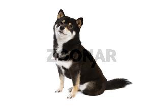 black and tan Shiba Inu Japanese breed dog