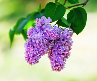 Blossoming lilac branch