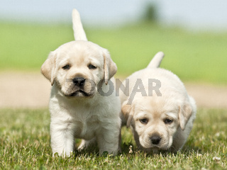 yellow dog puppies Labrador