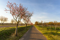 Almond blossom along the German Wine Route near Bad Duerkheim, Rhineland-Palatinate, Germany