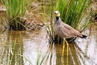 African wattled lapwing, Murchison Falls National Park Uganda (Vanellus senegallus)