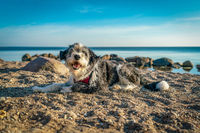 A black and white long haired dog lying on a sandy beach