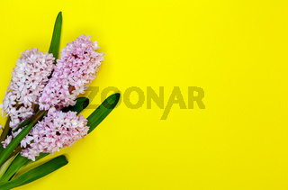 Floral bouquet of hyacinth flowers.