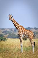 Ugandan giraffe, Murchison Falls National Park Uganda
