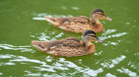 two ducks swimming on a lake in a park in Magdeburg in Germany
