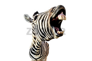 zebra with open mouth