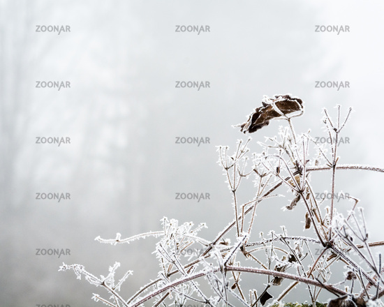 Branches in winter with snow