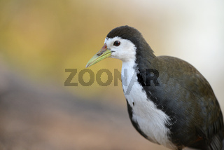 White-breasted Waterhen, Amaurornis phoenicurus, Bharatpur,Rajasthan, India