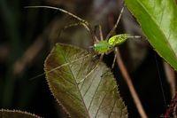 Green lynx spider, Peusitya jabalpurensis, Satara, Maharashtra, India