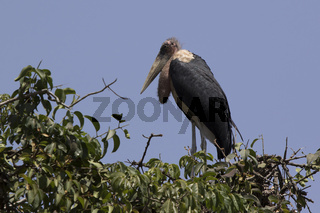 marabou stork standing on top of a tree
