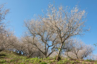 landscape of white plum blossom