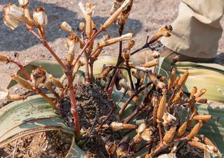 Welwitschie_Pflanze_01.jpg