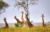 sitting Ugandan giraffes, Murchison Falls National Park Uganda