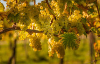 Crops of white grapes with green leaves on the vine. fresh fruits. Harvest time early Autumn.