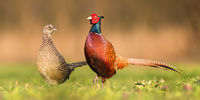Two common pheasants standing close to each other during spring breeding season