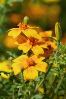 Golden marigold, Tagetes tenuifolia