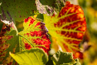 Autumn grapevines with red leaves on sunny day
