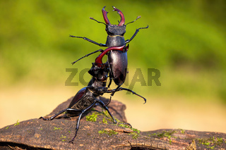Strong stag beetle lifting its rival over head in fierce fight in nature