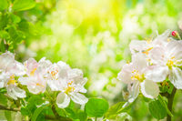 Blooming apple tree flowers, dreamy sunny background. Soft focus. Greeting gift card template. Pastel pink and green toned image.Spring delicate nature. Copy space