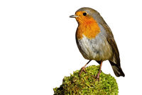 Little european robin sitting on moss isolated on white background.