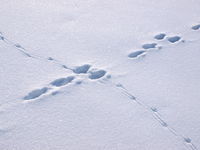 Hare track crosses crow track in the snow