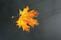 Yellow maple leaf in water, autumn and rainy weather. Autumn rainy weather. Top view, copy space