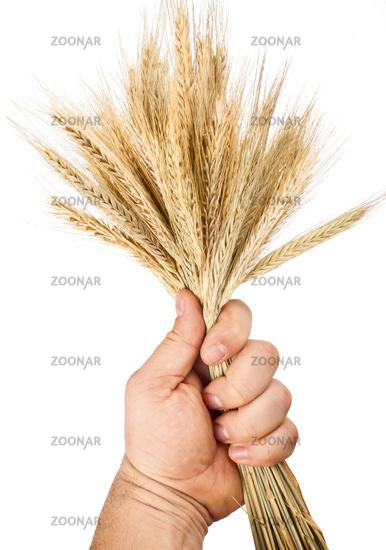 hand hold wheat