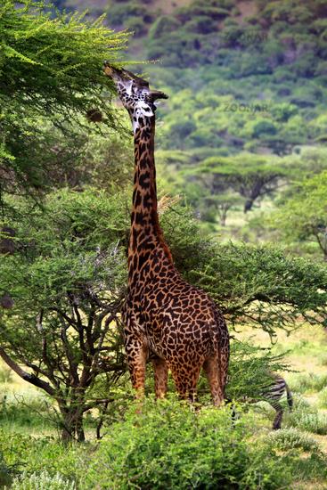 Free Giraffe in Tsavo National Park. Kenya