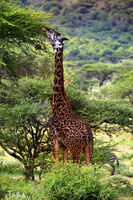 Free Giraffe in Tsavo National Park. Kenya