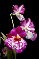 Orchid plant with three flowers on black