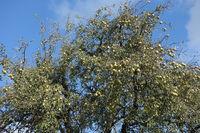 Pyrus communis, Pear tree
