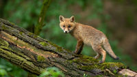 Little red fox cub looking to the camera in forest in summer