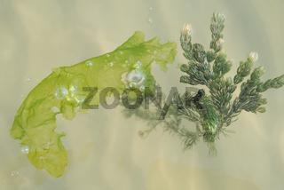 Algen und Seetang treiben an Meeresoberfläche - Nahaufnahme
