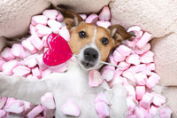 happy valentines dog in bed of marshmallows