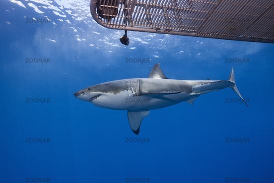 Kaefigtauchen mit dem Weissen Hai, Guadalupe Island