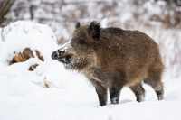 Wild boar standing on snow in wintertime nature.