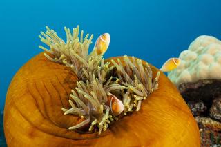 Halsband-Anemonenfische, Papua Neuguinea