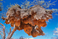 Big nest of weaver birds in Namibia
