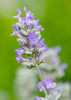 Common Lavender, Lavandula angustifolia