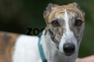 Soft medium full frame portrait of a pet dog looking at camera