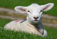 Schleswig-Holstein lamb