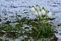 spring snowflake, march mug, spring knot flower