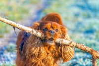 Cavalier King Charles Spaniel dog carries a big stick in his mouth