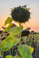 Beautiful sunflower at sunset. Sunflower close up at sunset with beautiful sky. Organic sunflower at sunset close up with a beautiful background
