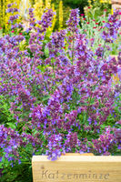 Flowering catnip