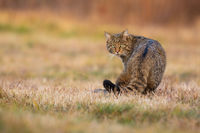 European wildcat looking back on a meadow in autumn.